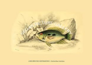LONG-SNOUTED CENTRARCHUS - Centrarchus rostratus
